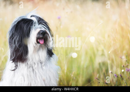 Tibetan terrier dog in a field gazing into the distance, selective focus - Stock Photo
