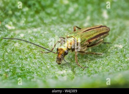 Thick-legged flower beetle, Oedemera nobilis, female