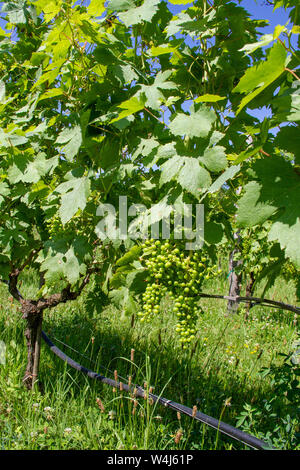 Grapes hanging on the vine in the Venissa vineyard on Mazzorbo island in Venice, Italy - Stock Photo
