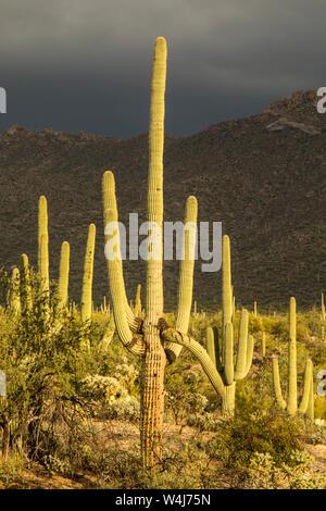 Saguaro cactus against stormy sky.  Arizona. - Stock Photo