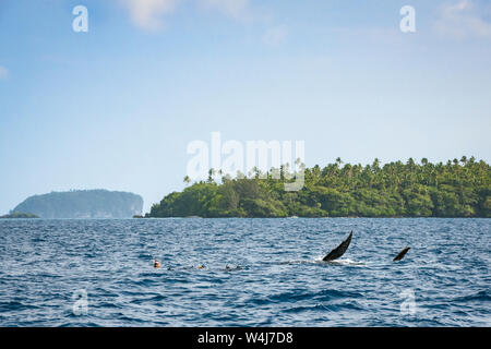 humpback whale calf, Megaptera novaeangliae, waves pectoral fin out of water next to a group of snorkelers, Vava'u, Kingdom of Tonga, South Pacific Oc - Stock Photo