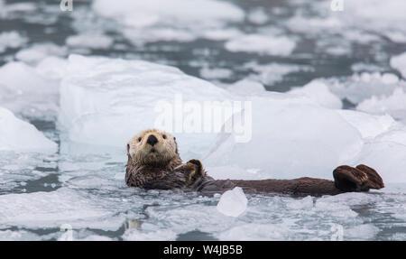 Sea Otter, Prince William Sound, Alaska - Stock Photo