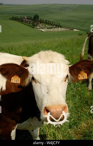 AJAXNETPHOTO. 2015. SUZANNE, FRANCE. - WELL FED - COWS GRAZING IN LUSH LANDSCAPE. COMMUNAL VILLAGE CEMETERY (DISTANT) ALSO HOSTS REMAINS OF WW I BATTLE OF THE SOMME CASUALTIES.PHOTO:JONATHAN EASTLAND/AJAX REF:D121506_2518 - Stock Photo