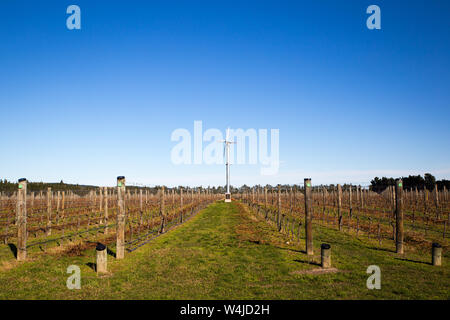 These grape vines have had their winter prune and are tied ready for the next year's crop of grapes in a vineyard in Canterbury, New Zealand - Stock Photo