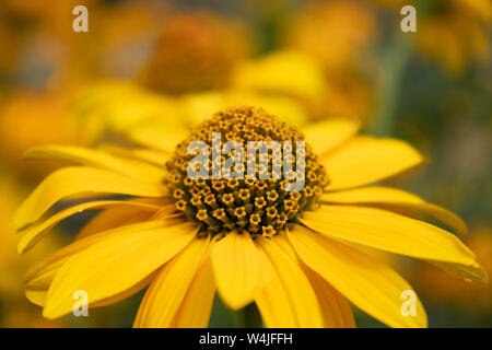 Closeup of yellow blooming Heliopsis helianthoides plant, also known as false sunflower and rough oxeye - Stock Photo