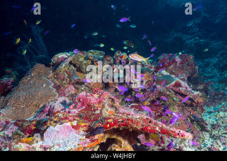 male threadfin anthias or red-cheeked fairy basslet, Pseudanthias huchtii, swims among a school of purple anthias or yellowstriped fairy basslets, Pse - Stock Photo