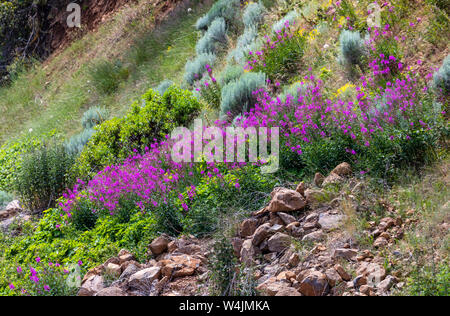 A beautiful wildflower known as Fireweed (Chamaenerion angustifolium) on a hillside along Highway 140 in the Howard Bay area of Upper Klamath Lake, OR - Stock Photo