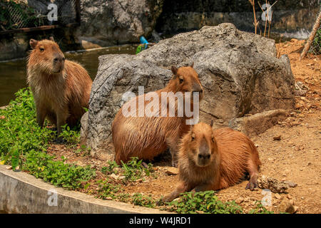 Three adult Capybaras, Hydrochoerus hydrochaeris, members of the same group, socialize together at the Chiang Mai Zoo in Northern Thailand. - Stock Photo