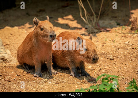 Two immature Capybaras, Hydrochoerus hydrochaeris;, sun themselves at the Chiang Mai Zoo in Northern Thailand. - Stock Photo