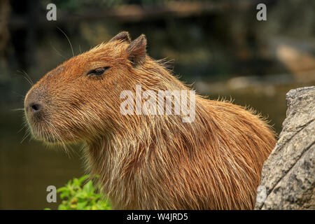 An adult Capybara, Hydrochoerus hydrochaeris, a rodent native to South America, suns itself at the Chiang Mai Zoo in Northern Thailand. - Stock Photo