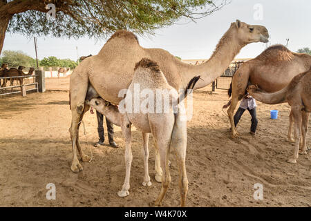 Baby Camel sucks milk from Mother in National Research Centre on Camel. Bikaner. Rajasthan. India - Stock Photo