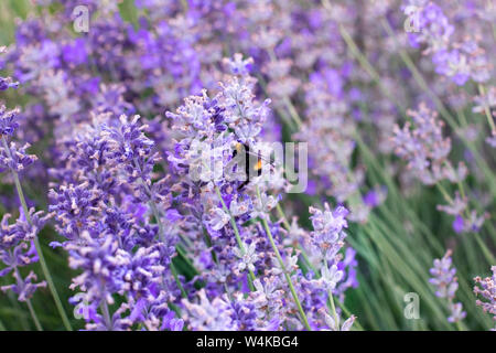 Honey bee on a purple lavender flower in a lavender field in summer. Bumblebee on a lavender lilac flower on a sunny day. - Stock Photo