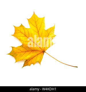 Autumn maple leaf isolated on a white background. Top view. - Stock Photo