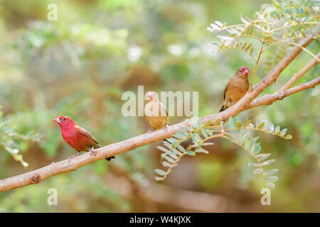 Red-billed Firefinch - Lagonosticta senegala, beautiful small red perching bird from African bushes and gardens, Senegal. - Stock Photo
