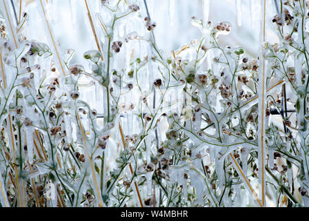 USA. Montana. Sheridan. Winter ice coated plants. - Stock Photo