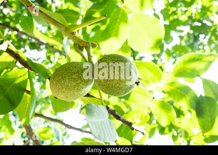 two nuts close-up on walnut tree illuminated by sun in orchard on sunny summer day - Stock Photo