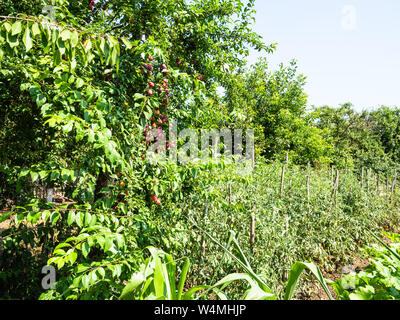 rural landscape - plum trees with ripe fruits and tomato bushes in garden on sunny summer day - Stock Photo