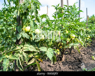 bushes with green unripe tomato fruits outdoors in garden in summer season - Stock Photo