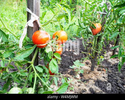 bushes with red ripe tomato fruits near wooden stakes outdoors in garden in summer season - Stock Photo