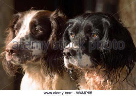 Portait of Two Working English Springer Spaniel Gundogs - Stock Photo