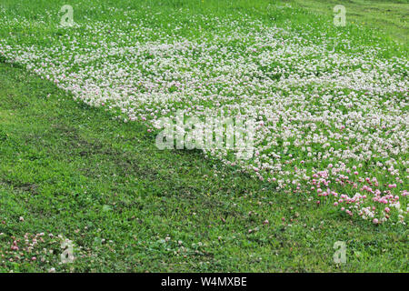 Trifolium repens and Trifolium pratense. A lawn densely overgrown with clover. grass shearing lawn mowers - Stock Photo