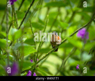 Animals, Birds, A female White-bellied Mountain-gem Hummingbird, Lampornis hemileucus, perches in a thicket of Porterweed in the cloud forest of Costa Rica. - Stock Photo