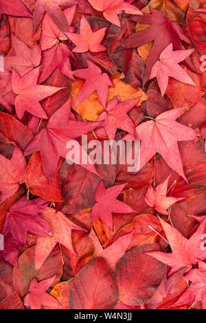 Close up of the red fallen Autumn / Fall leaves of an Acer Japonica. - Stock Photo
