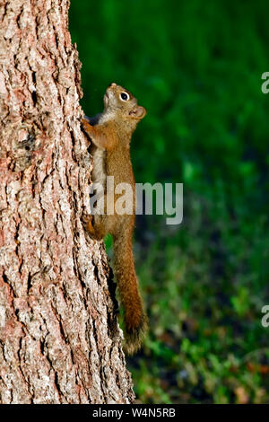 A side view of a young red squirrel  'Tamiasciurus hudsonicus', climbing up a spruce tree trunk in rural Alberta Canada. - Stock Photo