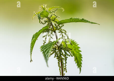 Close up of a stiging nettle (Urtica dioica) with shallow depth of field and a rain drop hanging from a leaf - Stock Photo