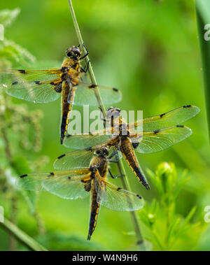 Close up of three Four-spotted Chaser Dragonflies (Libellula quadrimaculata) sheltering from rain, clinging to a grass stem - Stock Photo