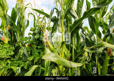 Unripe green corn in the garden. Corn stalks, flowers and leaves on  a sunny day. - Stock Photo