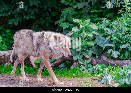 Grey wolf (Canis Lupus) walking to the right among vegetation - Stock Photo