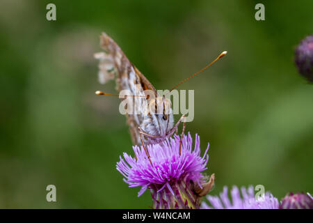 Front view of a worn painted lady butterfly, Vanessa Cardui. Unusually high numbers of the migratory butterfly have flown into Britain from continenta - Stock Photo