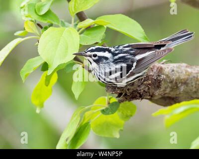 Black and white warbler, Mniotilta varia, male, perched on evergreen Nova Scotia Canada - Stock Photo