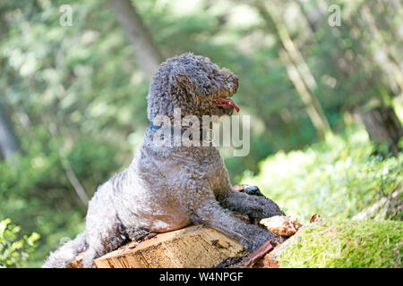 Truffle dog portrait in wild forest macro background fine art high quality prints products fifty megapixels lagotto romagnolo - Stock Photo