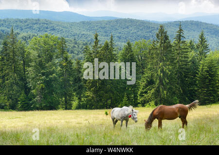 Beautiful horses graze on pasture. Carpathian mountains. - Stock Photo