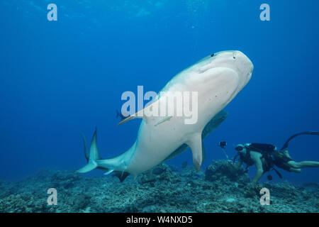 diver uses mobile phone to shoot underwater video of two female tiger sharks, Galeocerdo cuvier, as they turn away from each other to avoid a collisio - Stock Photo