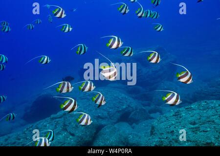 schooling pennant butterflyfish, false moorish idol, or schooling bannerfish, Heniochus diphreutes, in front of Neon Cave, Lehua Rock, Hawaii, USA, Pa - Stock Photo