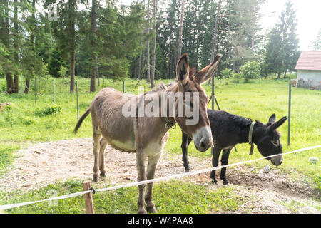 Portrait photo of two donkeys looking in the camera on farm. - Stock Photo