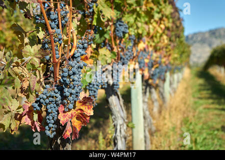 Ripe Okanagan Wine Grapes. Ripe bunches of red grapes hang on the vine in a vineyard ready to be harvested. Okanagan Valley near Osoyoos, British Colu - Stock Photo