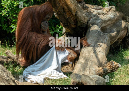 Zooo monkey orang utan ape playing ghost with bed sheets - Stock Photo