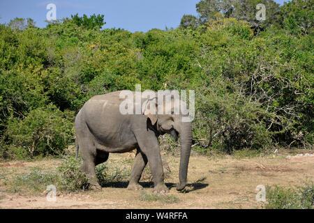 Sri Lanka, Yala National Park, elephant - Stock Photo