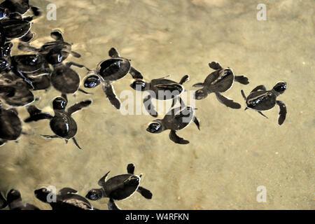 Sri Lanka, Balapitiya, turtles - Stock Photo