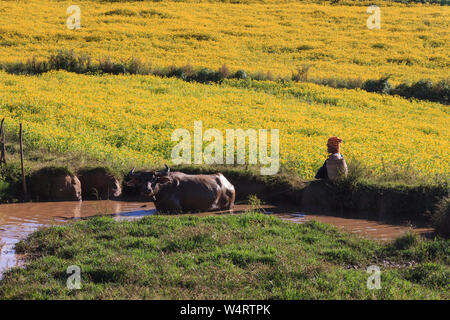 Myanmar farmer letting her cows cool off in the water - Stock Photo