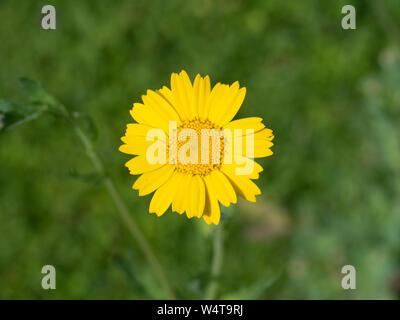A single clear yellow flower of corn marigold Glebionis segetum Stock Photo