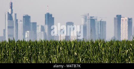 25 July 2019, Hessen, Frankfurt/Main: The Frankfurt skyscrapers a few kilometres away appear flickering in the midday heat over a maize field. A new heat wave makes Germany sweat with record-breaking temperatures. Photo: Frank Rumpenhorst/dpa - Stock Photo