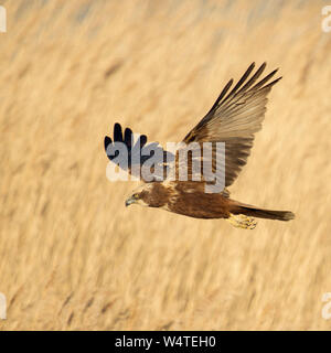 Western Marsh Harrier / Rohrweihe ( Circus aeruginosus ) in flight, searching for prey, flying over golden reed, Netherlands, Europe. - Stock Photo