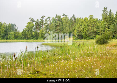 Forest lake and a bog with bulrush plants - Stock Photo