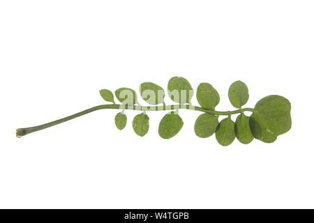 Wiesen-Schaumkraut, Wiesenschaumkraut, Schaumkraut, Cardamine pratensis, Cuckoo Flower, Lady´s Smock, Cardamine des prés. Blatt, Blätter, leaf, leaves - Stock Photo