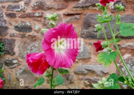 Pink hollyhock in Dunster Castle Gardens, Somerset, UK - Stock Photo